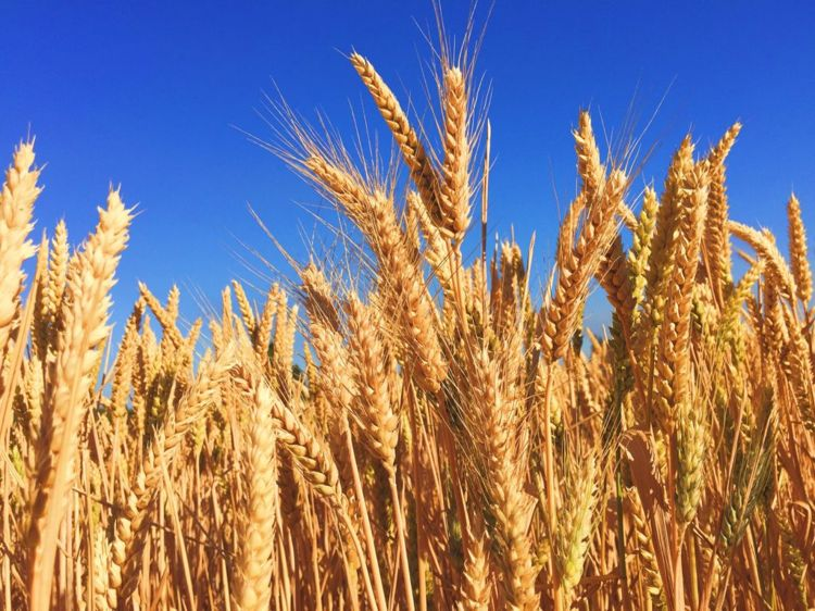 Die Glutenintoleranz wird durch Stoffe im Weizen ausgelöst. Photo by Melissa Askew on Unsplash