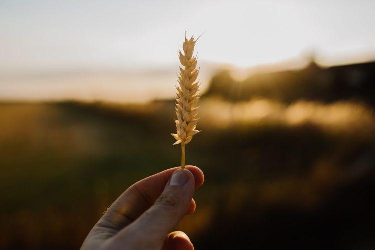 Die Zöliakie wird durch Gluten ausgelöst, das in Getreiden vorkommt. / Photo by Phil Hearing on Unsplash